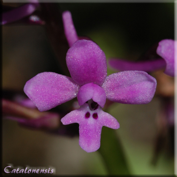 Orchidées de Sardaigne, avril 2008 Bran_210