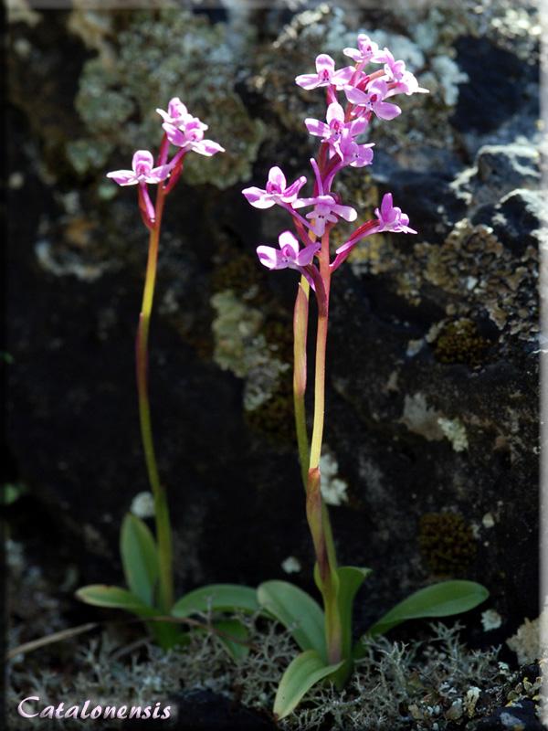 Orchidées de Sardaigne, avril 2008 Bran_310