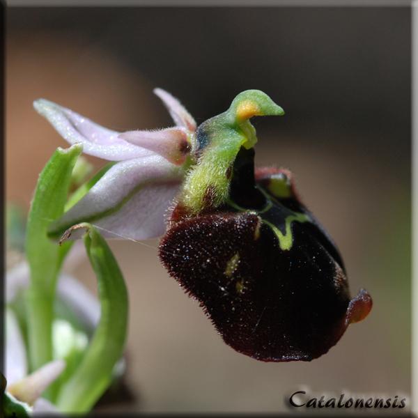 Orchidées de Sardaigne, avril 2008 Che_2p10