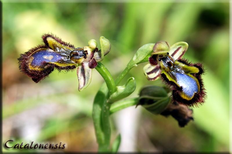 Orchidées de Sardaigne, avril 2008 Cil_1p10