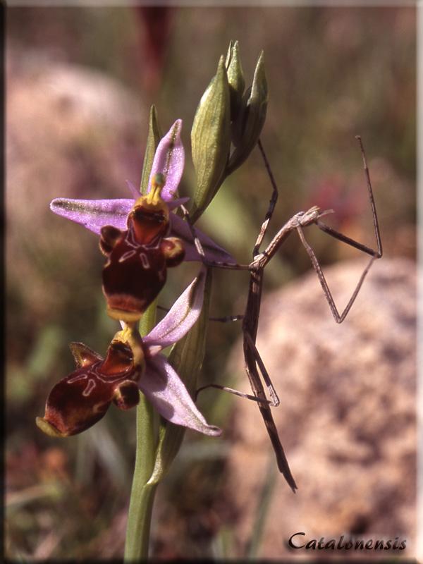 Orchidée et... phasme !  Cor1_p10