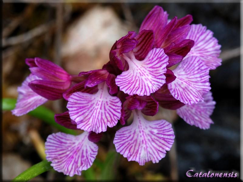 Orchidées de Sardaigne, avril 2008 Exp_1p10