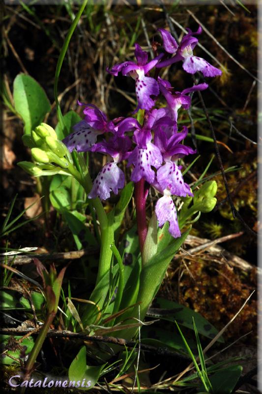 Orchidées de Sardaigne, avril 2008 Ich_1p10