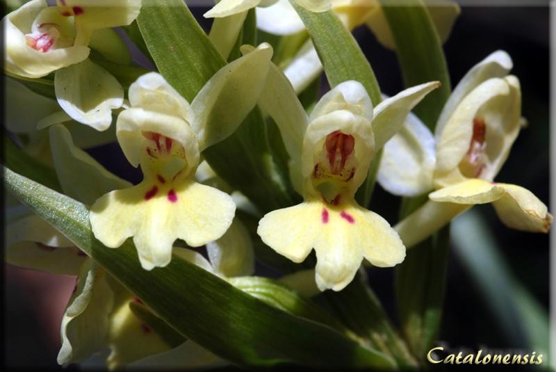 Orchidées de Sardaigne, avril 2008 Ins_2p10