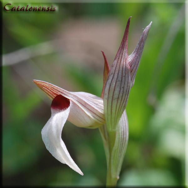 Orchidées de Sardaigne, avril 2008 Ling_110