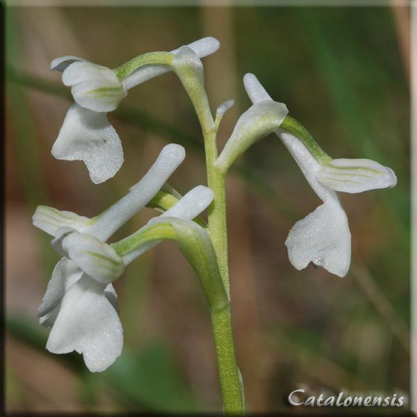Orchidées de Sardaigne, avril 2008 Long_210