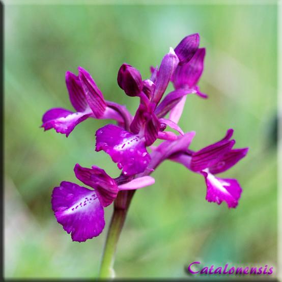 Orchidées de Sardaigne, avril 2008 Lonxpa11