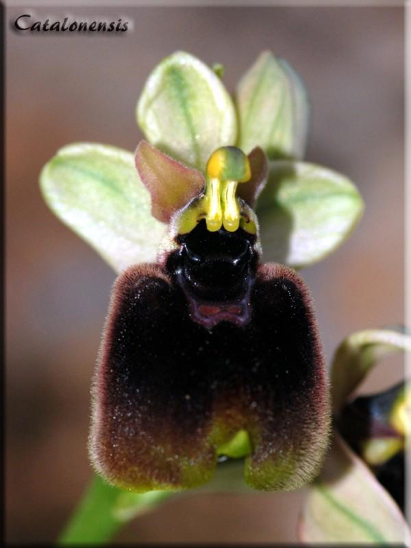 Orchidées de Sardaigne, avril 2008 Nor_2p10