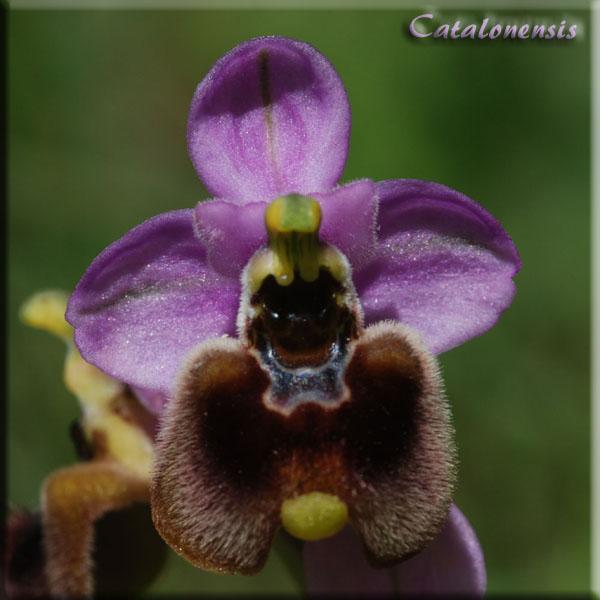 Orchidées de Sardaigne, avril 2008 Nor_3p10