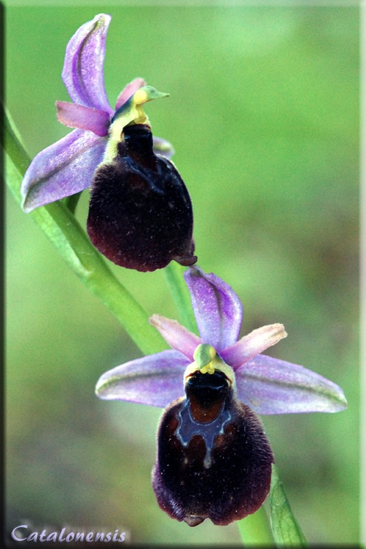Orchidées de Sardaigne, avril 2008 Pan_1p10