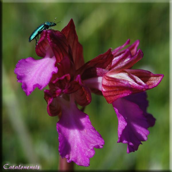 Orchidées de Sardaigne, avril 2008 Pap_2p10
