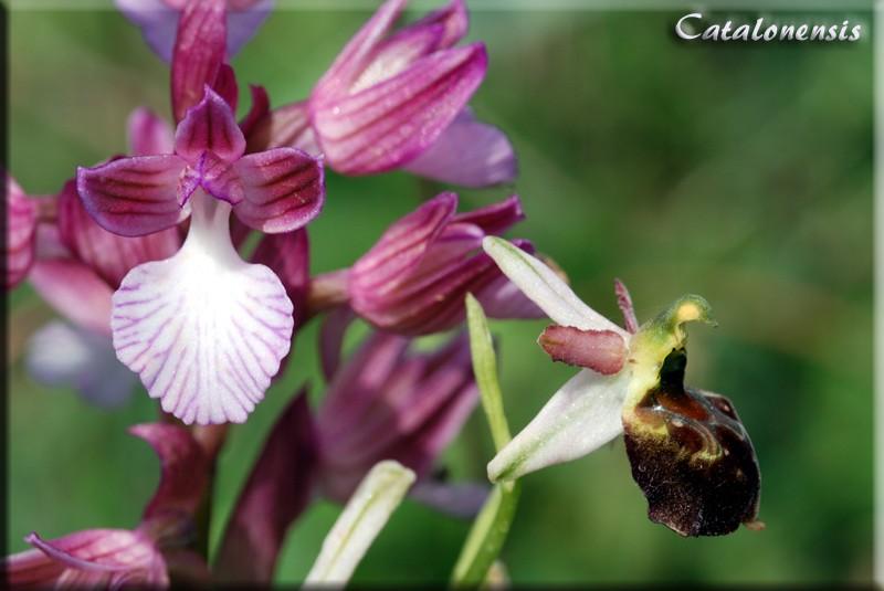 Orchidées de Sardaigne, avril 2008 Pap_mo10