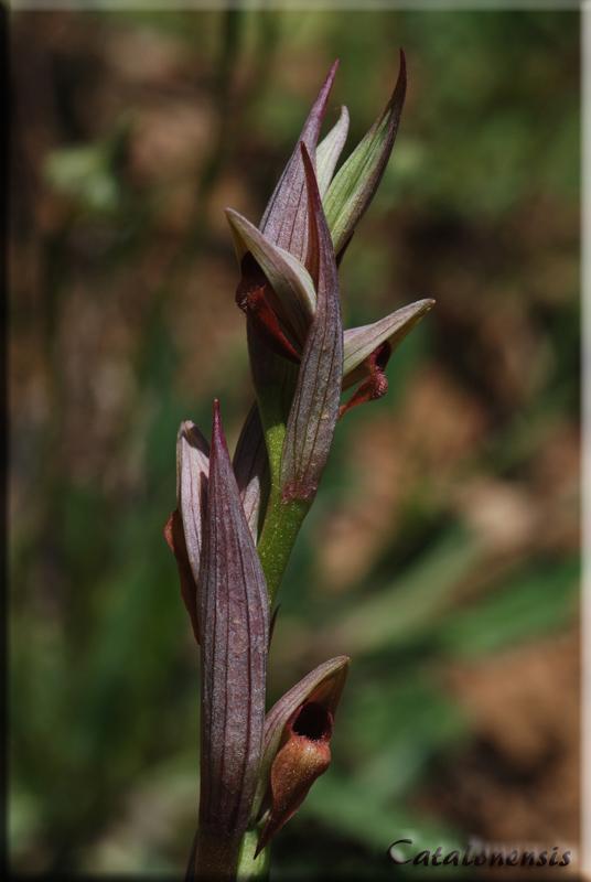 Orchidées de Sardaigne, avril 2008 Parv_110