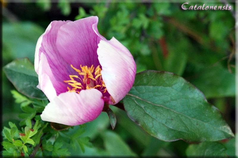 Orchidées de Sardaigne, avril 2008 Pivoin10