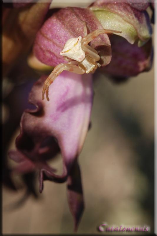 orchidées et araignées - Page 4 Tomise10