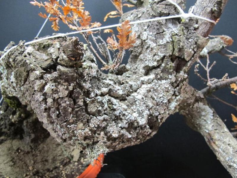 IL GRIZZLY .... quercia. Cortec16