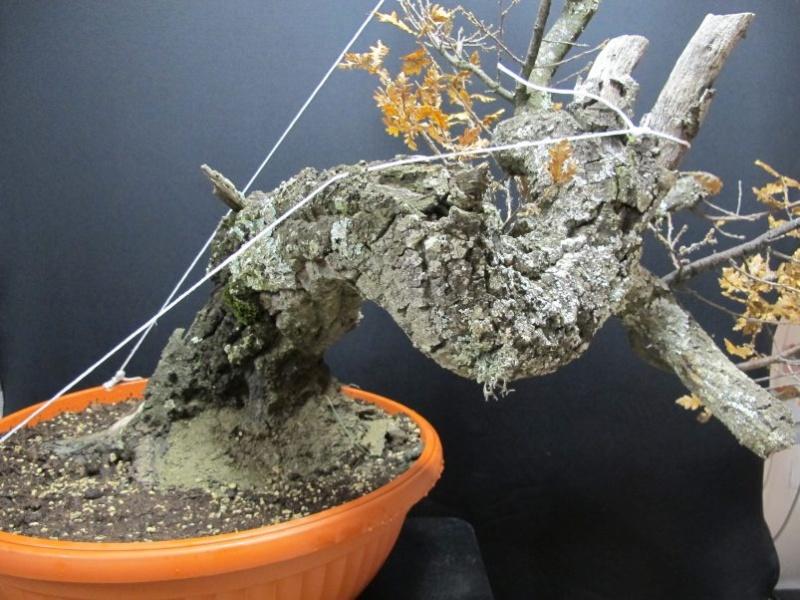 IL GRIZZLY .... quercia. Dietro33