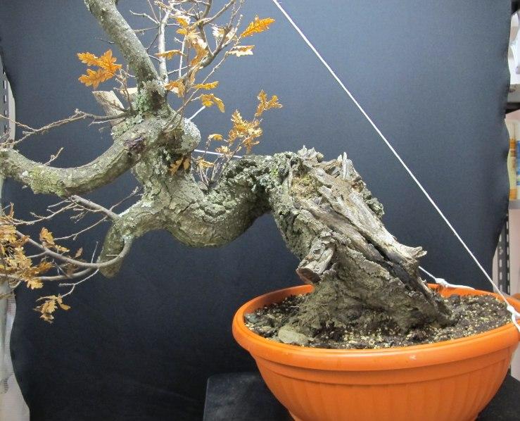IL GRIZZLY .... quercia. Fronte54