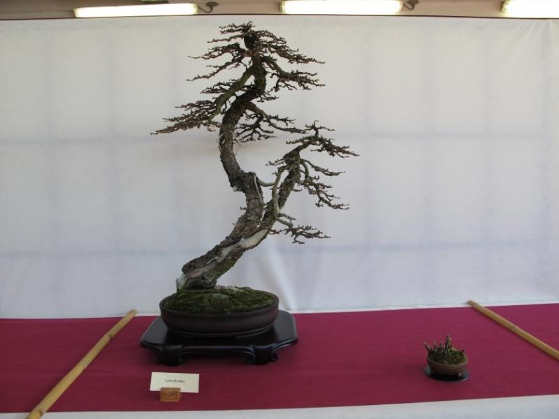 2ª Edizione - Bonsai sotto il cielo d'inverno - Generazioni a Confronto Larice10