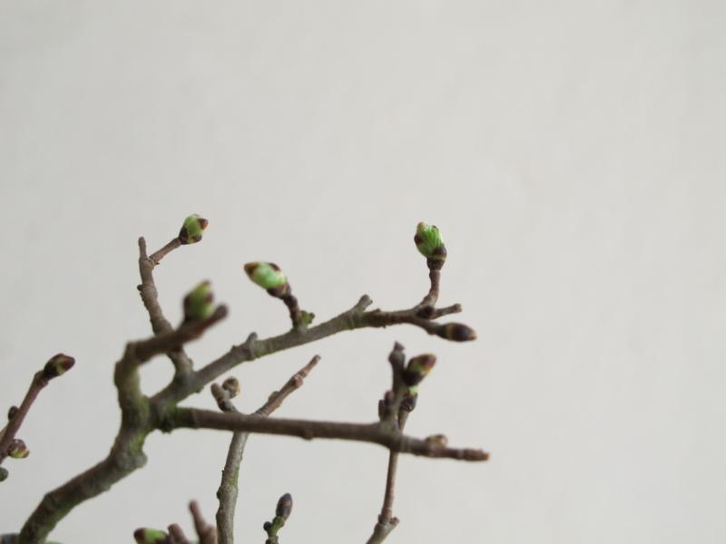 la bellezza della primavera ... Olmo_b13