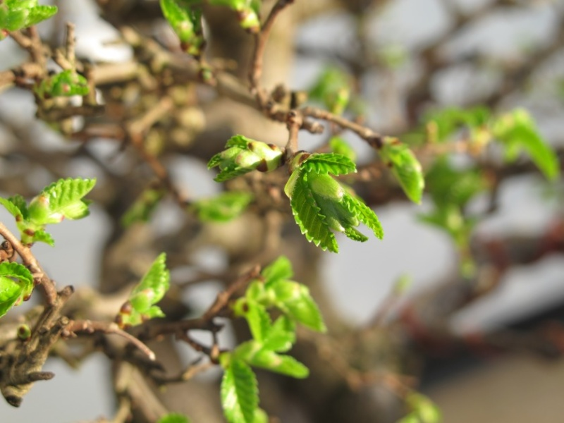 la bellezza della primavera ... Olmo_c11