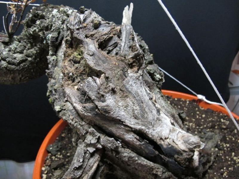 IL GRIZZLY .... quercia. Secco_60
