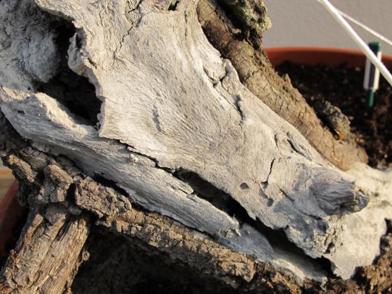 IL GRIZZLY .... quercia. Secco_66