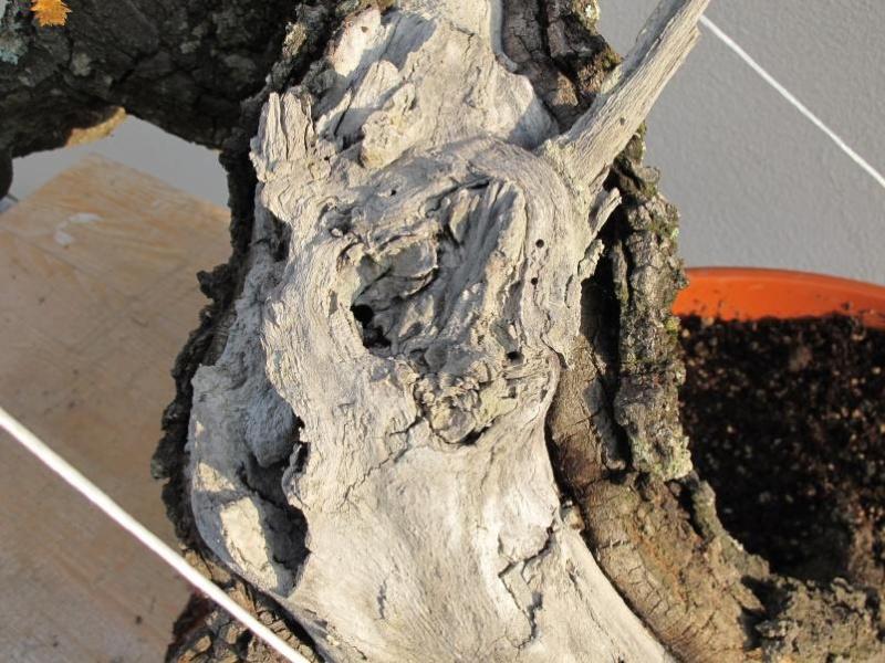 IL GRIZZLY .... quercia. Secco_67