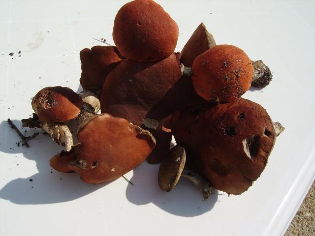 Premiers champignons ! A_trie15
