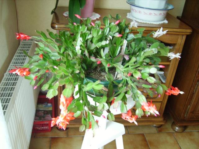 cactus de noel Cepes_15