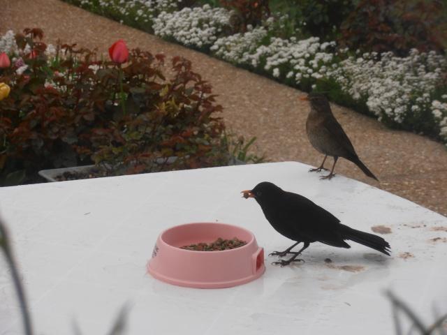 Reconnaitre les oiseaux de nos jardins... - Page 6 Jardin23