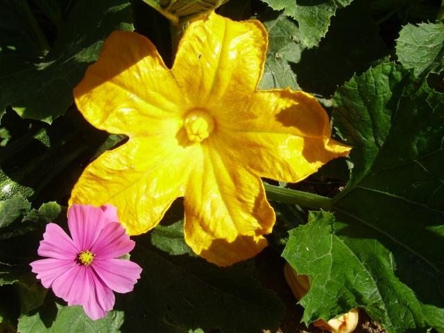 Fleur de courge ,citrouille etc... Lys_2031