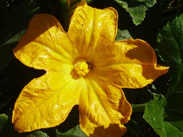 Fleur de courge ,citrouille etc... Lys_2032