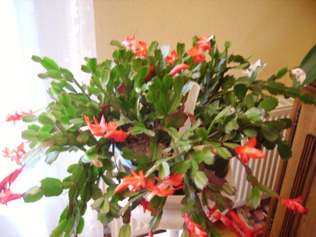 cactus de noel Sarah_10