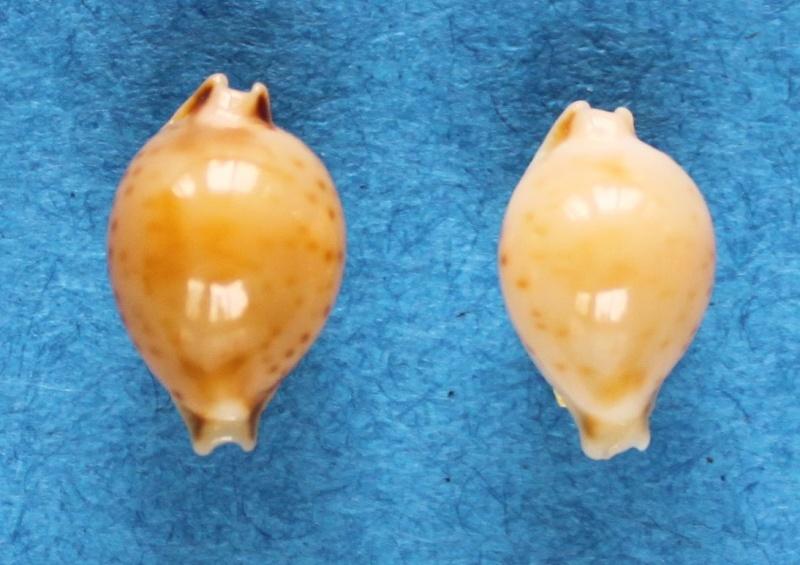 Pustularia mauiensis wattsi - Lorenz, 2000 Img_1612