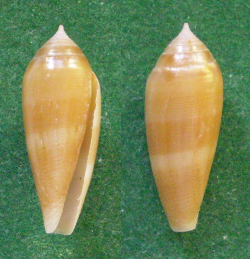 Conus (Leporiconus) granum  Röckel & Fischöder, 1985 Panor103