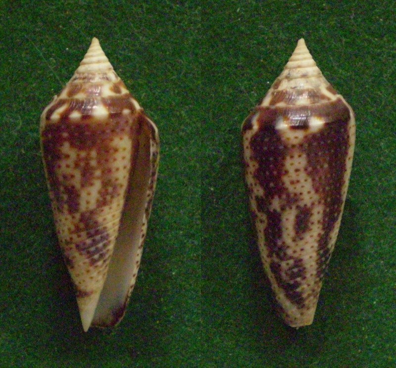Conasprella (Ximeniconus) mahogani (Reeve, 1843) Panor104