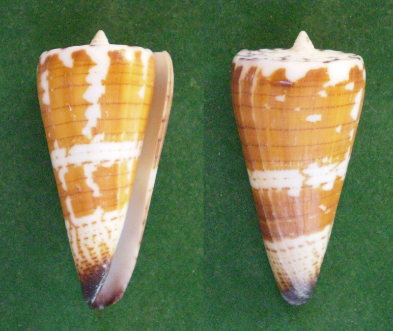 Conus (Strategoconus) maldivus   Hwass in Bruguière, 1792 Panor105