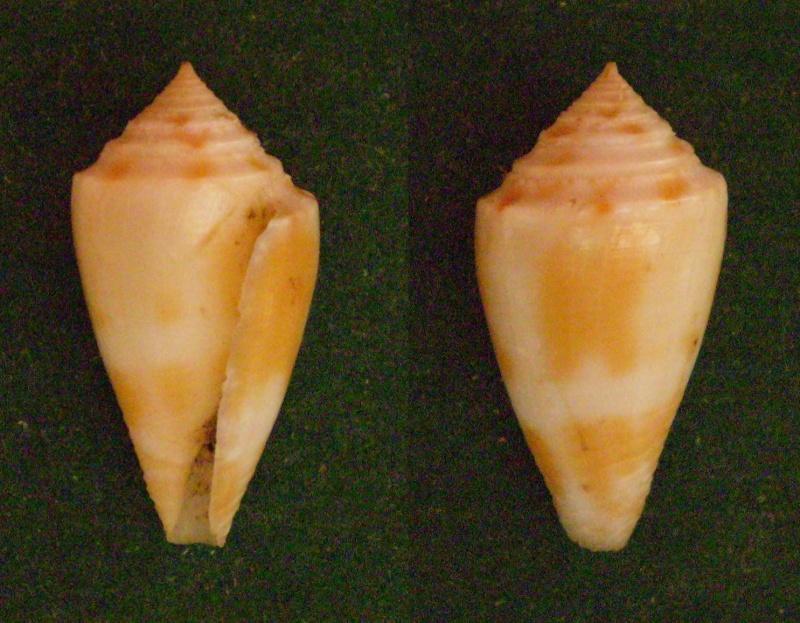 Conasprella (Ximeniconus) mindana  (Hwass in Bruguière, 1792) Panor113