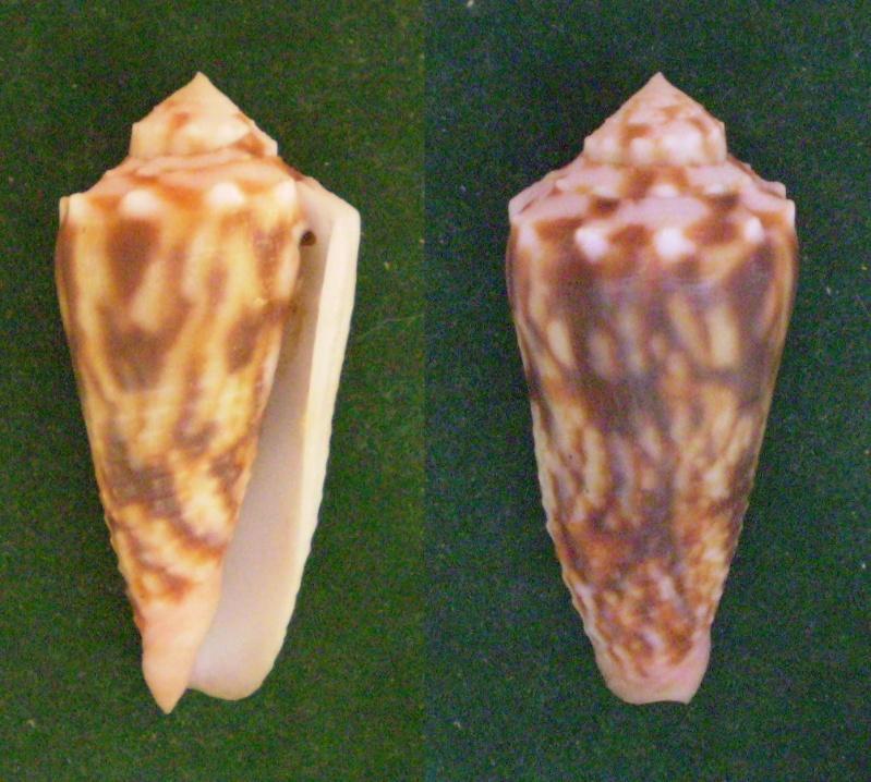Conus (Phasmoconus) stainforthii (Reeve, 1843)voir Conus (Ph) moluccensis Panor115