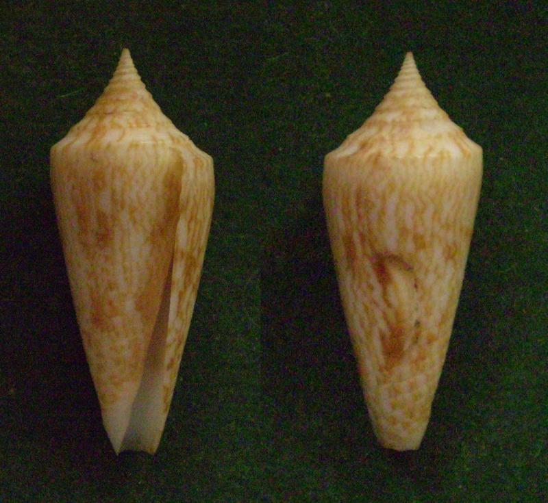 Conus (Phasmoconus) neptunus   Reeve, 1843 Panor118