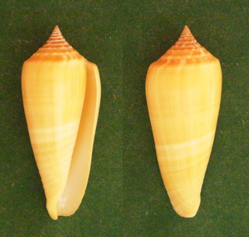 Conus (Phasmoconus) ochroleucus   Gmelin, 1791 Panor121