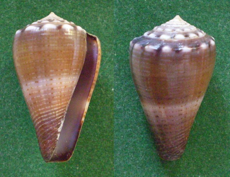 Conus (Splinoconus) parvulus (Link, 1807) Panor124