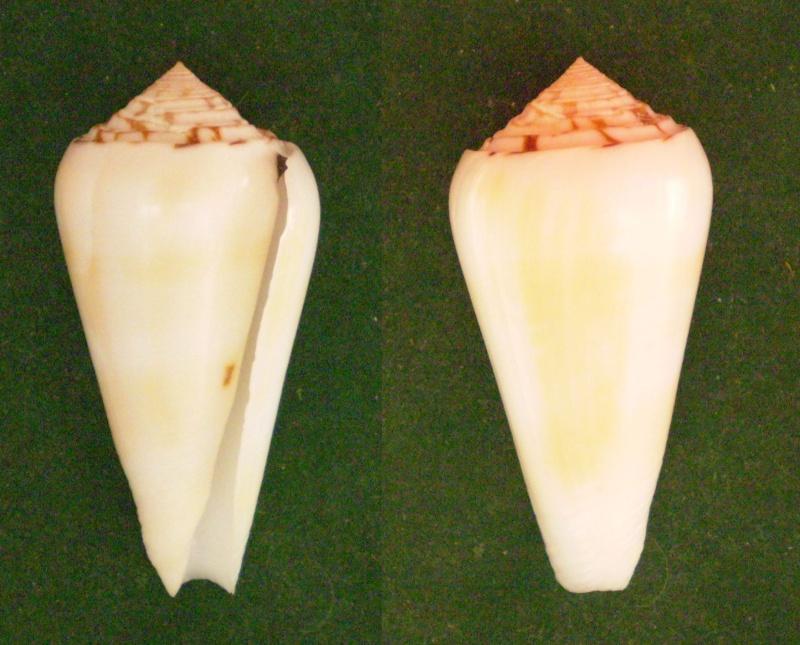 Conus (Pionoconus) pramparti  Leehman, 1976 voir  Conus (Pio.) gubernator Panor128