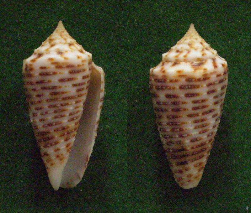 Conus (Phasmoconus) cebuensis   Wils, 1990 Panor130