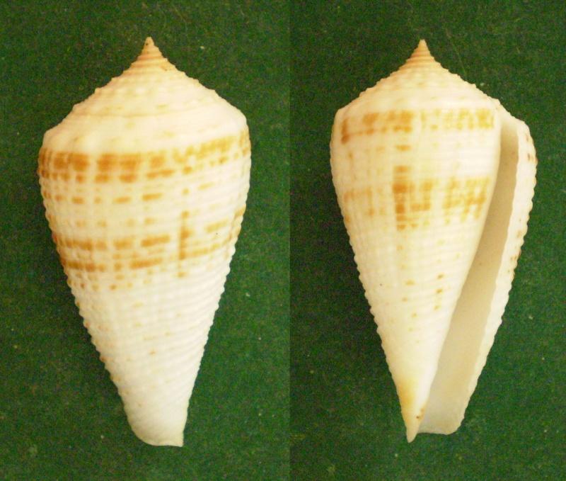 Conus (Asprella) rolani (Röckel, 1986) Panor135