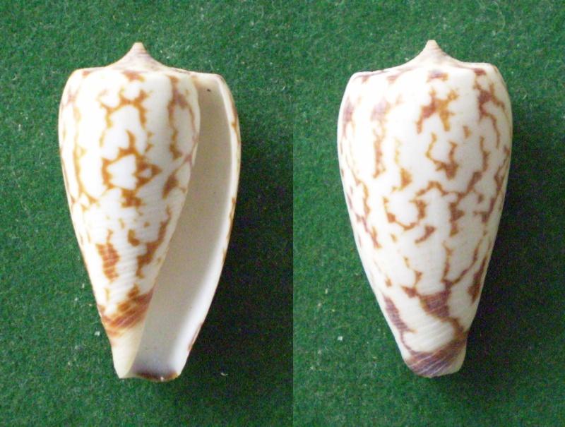Conus (Phasmoconus) spectrum   Linnaeus, 1758 Panor137
