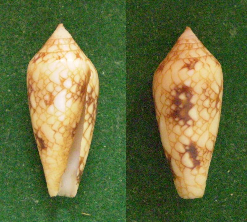 Conus (Cylinder) legatus   Lamarck, 1810 Panor147
