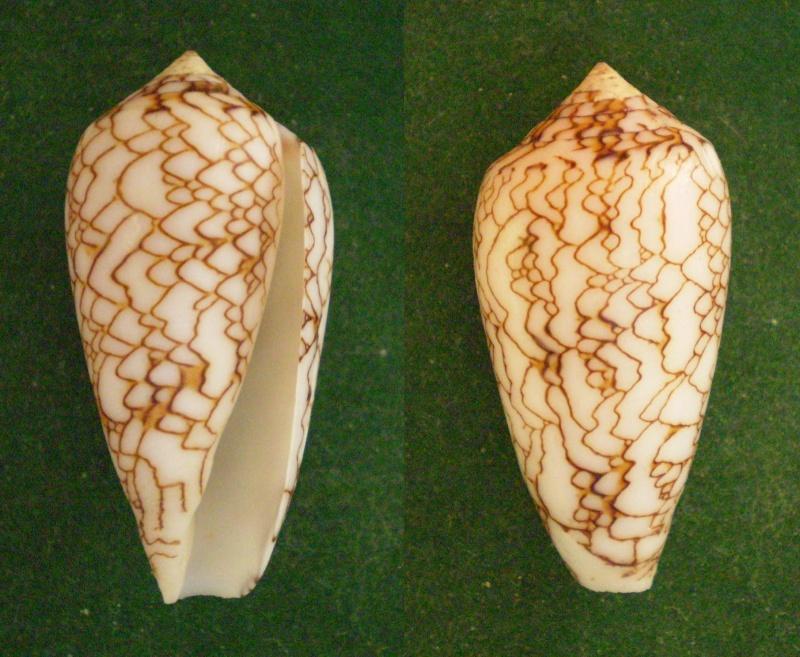 Conus (Cylinder) archiepiscopus scriptus  Sowerby II, 1858 Panor151