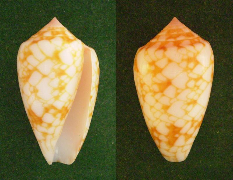 Conus (Cylinder) archiepiscopus sirventi   Fenaux 1943 Panor152